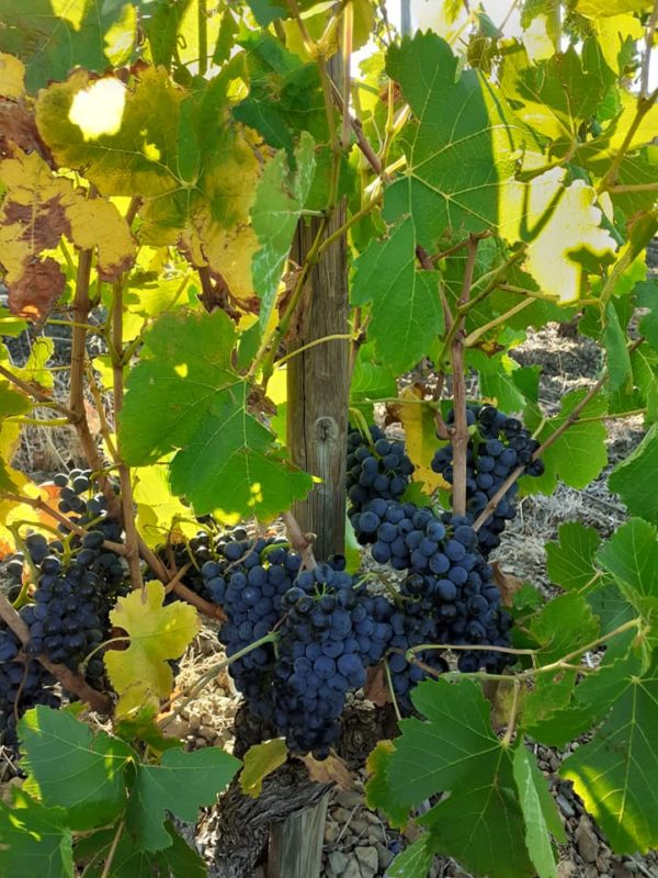 syrah vendanges 2019 600x800